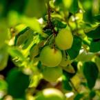 Frukt på ett av våra träd.