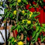 Träden behöver lite stöd med all frukt som tynger grenarna.