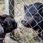 Den glada grisen skuttade fram och hälsade på Valter. De kom bra överens.
