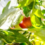 Tomat under mogning