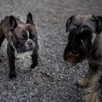 Fransk Bulldogg och Mellanschnauser
