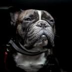 Vacker hund i bilen