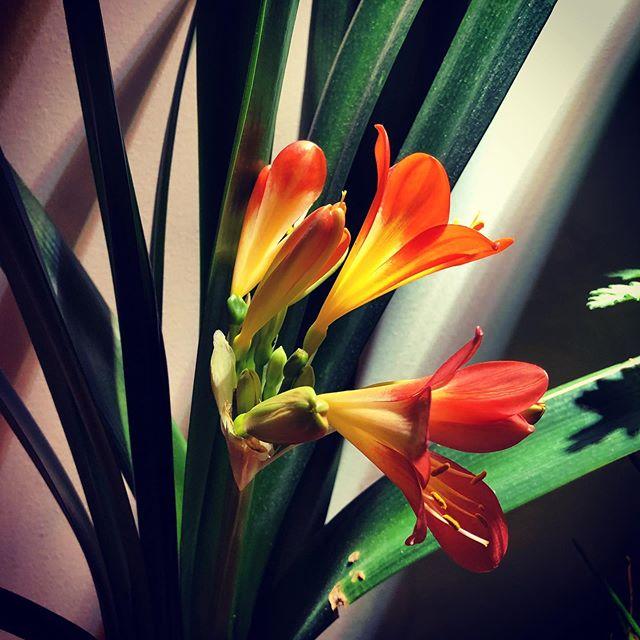 Vet nu att det är en Clivia jag har inlägg av @wallinskapaya  Min blommar med. Tredje gången på 15-20 år.