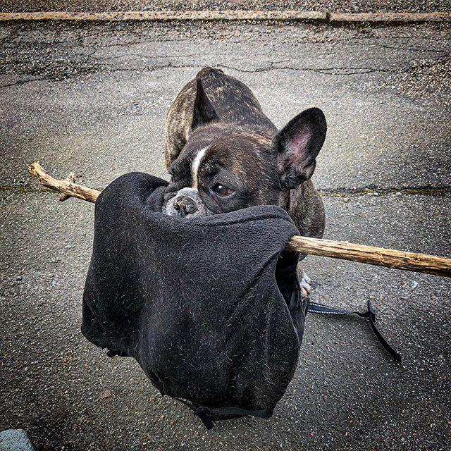 Svårt att få av jackan om man inte vill släppa pinnen. #valpr