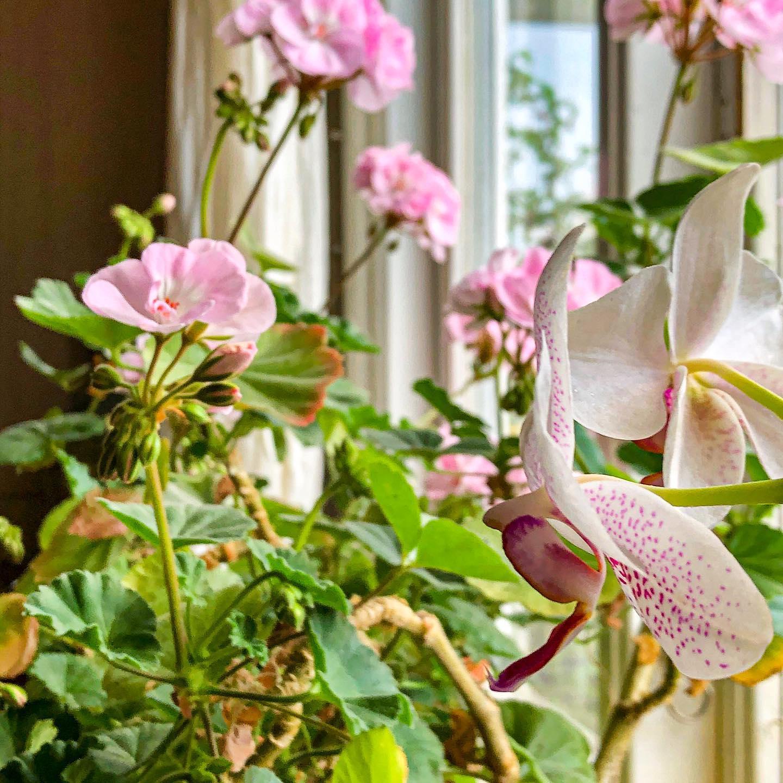 Orkidé och pelargoner.